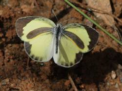 Barred Yellow (Male, Dorsal)