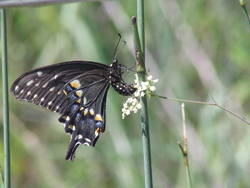 Black Swallowtail (Ventral, Female, Ovipositing)