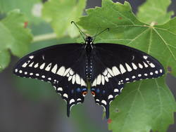 Black Swallowtail (Male, Dorsal)
