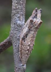 Black Swallowtail (Chrysalis)