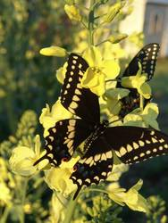 Black Swallowtail (Dorsal, Male, Talladega County)