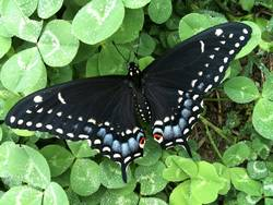 Black Swallowtail (Dorsal, Female)