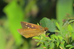 Broad-winged Skipper (Dorsal/Ventral, Female)