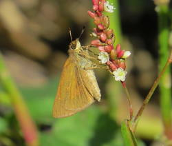 Broad-winged Skipper (Ventral)