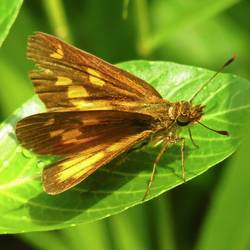 Broad-winged Skipper (Dorsal)