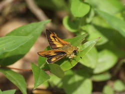 Byssus Skipper (Dorsal, Male)