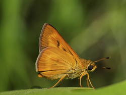 Byssus Skipper (Ventral, Male)