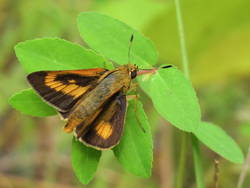 Byssus Skipper (Female, Dorsal)