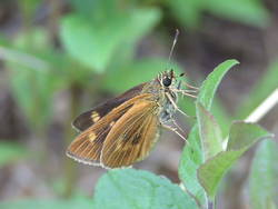 Byssus Skipper (Ventral)
