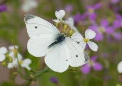 Cabbage White (Dorsal, Male)