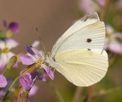 Cabbage White (Ventral, Female)