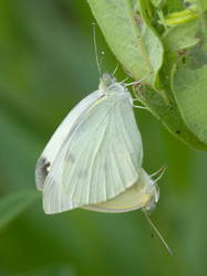 Cabbage White (Mating)
