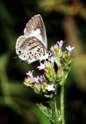 Cassius Blue (Ventral)