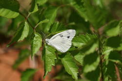 Checkered White (Ventral)