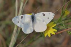Checkered White (Dorsal, Male)