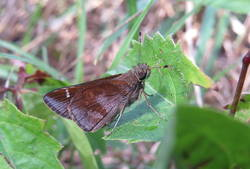 Clouded Skipper (Ventral)