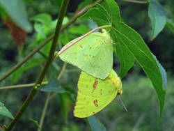 Cloudless Sulphur (Ventral, Mating Pair)