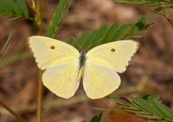 Cloudless Sulphur (Dorsal, Female)