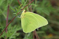 Cloudless Sulphur (Male, Ventral)