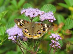 Common Buckeye (Dorsal)