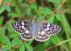 Common Checkered-Skipper / White Checkered-Skipper (Dorsal, Female)
