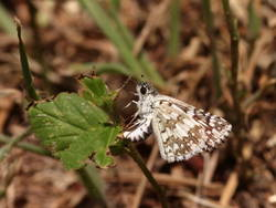 Common Checkered-Skipper / White Checkered-Skipper (Ventral, Female, Ovipositing)