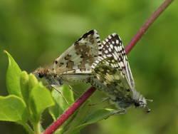 Common Checkered-Skipper / White Checkered-Skipper (Ventral, Mating Pair)