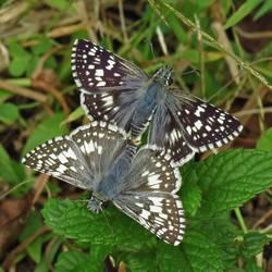 Common Checkered-Skipper / White Checkered-Skipper (Male, Female, Mating)