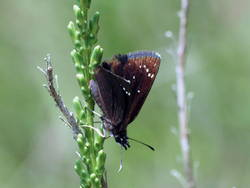 Common Sootywing (Ventral)