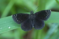 Common Sootywing