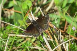 Common Sootywing (Dorsal)
