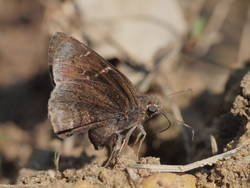 Confused Cloudywing (Ventral)