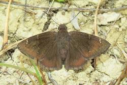 Confused Cloudywing (Dorsal)