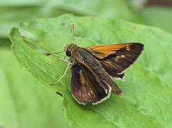Crossline Skipper (Male, Dorsal)