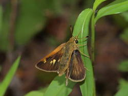 Crossline Skipper (Dorsal, Female)