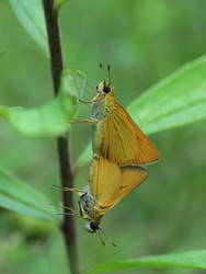 Delaware Skipper (Ventral, Mating Pair)