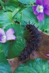 Diana Fritillary (Caterpillar)