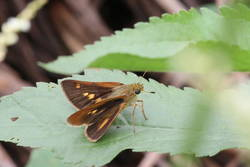 Dion Skipper (Female, Dorsal)