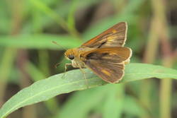 Dion Skipper (Dorsal, Male)
