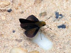 Dun Skipper (Male, Dorsal)