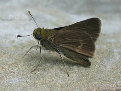 Dun Skipper (Ventral, Male)