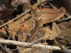 Eastern Comma (Ventral)
