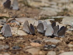 Eastern Tailed-Blue (Ventral, Puddling)