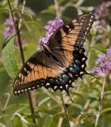 Eastern Tiger Swallowtail (Dorsal, Intermediate Female)