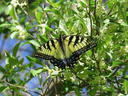 Eastern Tiger Swallowtail (Dorsal, Yellow Female)