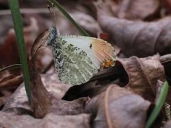 Falcate Orangetip (Ventral, Male)