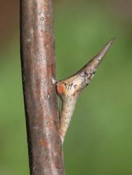 Falcate Orangetip (Chrysalis)