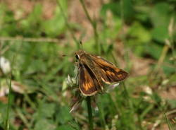 Fiery Skipper (Dorsal, Female)