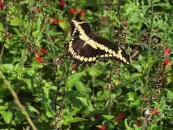 Giant Swallowtail (Dorsal)