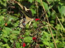 Giant Swallowtail (Ventral)